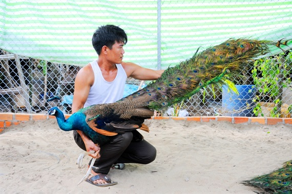 pic/news/Nuoi-chim-cong-moi-ban-long-thoi-da-duoc-20-ngan-dong636656042482395489.jpg